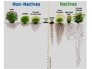 Native-vs-non-Native-root-length