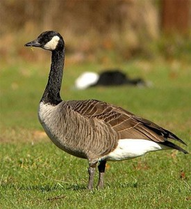 Get Rid of Geese - Foiling Fouling Geese - Final